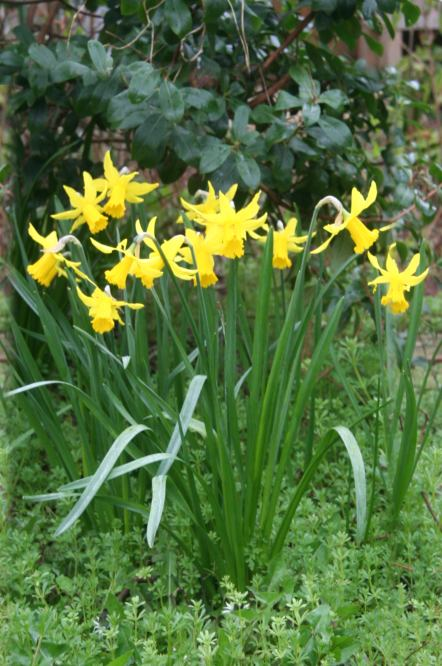 Daffodil picture, Daffodil Family