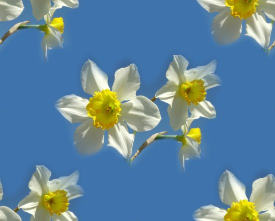 Free Daffodil Backgrounds For Websites, Spaces & Blogs