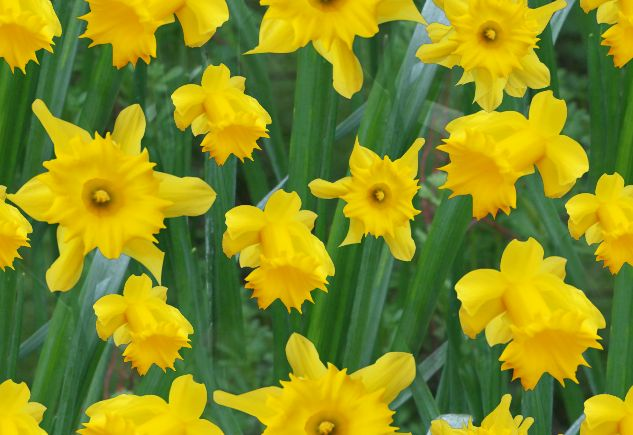 A host of golden daffodils seamless repeating background image